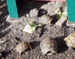 des tortues à la maternelle